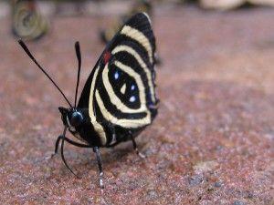 papillon, chutes Iguazù, Argentine