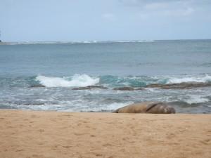 Larsens Beach_phoque_Kauai